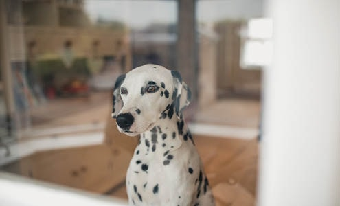 A Dalmatian looks out the window of his home